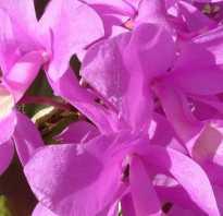 Коста цветок