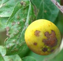 Чем обработать яблони осенью от парши