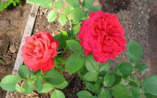 Когда лучше черенковать розы