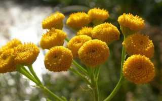 Трава пижма лечебные свойства и противопоказания