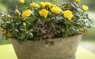 Карликовая роза в саду