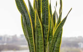 Растение тещин язык как ухаживать