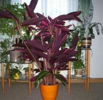 Как называется цветок с фиолетовыми листьями