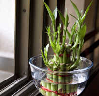 Грунт для бамбука