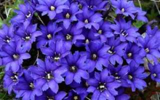 Фиолетовые мелкие цветочки название