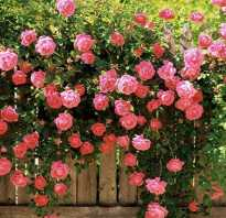 Английская роза абрахам дерби