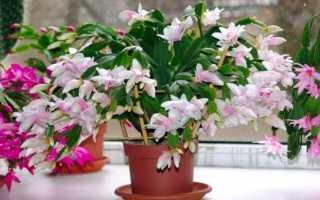 Уход за цветком декабрист в домашних условиях