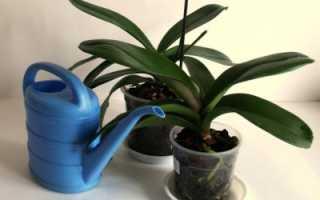 Когда поливать орхидею после пересадки