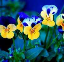 Цветы анютины глазки