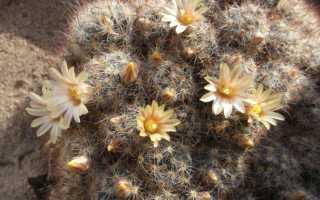 Сколько цветет кактус