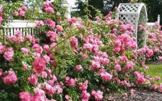 Цветы розы садовые