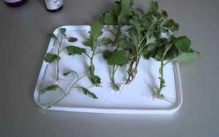 Черенкование хризантем весной