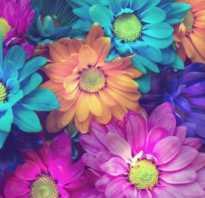 Как называются разноцветные ромашки