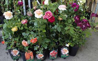 Как выбрать саженцы розы для посадки