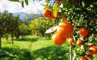 Как выглядит апельсин