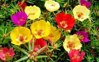 Портулак огородный полезные свойства