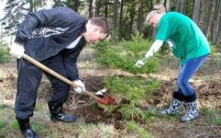 Когда сажать елки весной или осенью