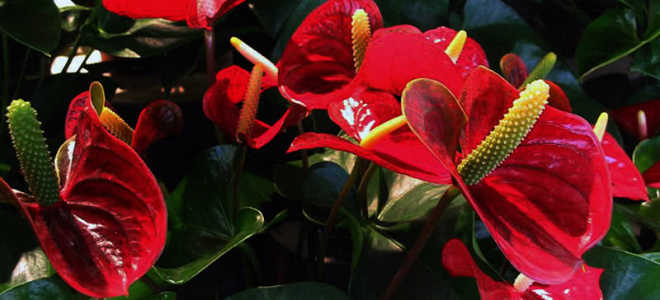 Мужское счастье цветок уход в домашних