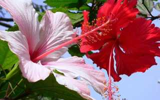 Гибискус розовый махровый