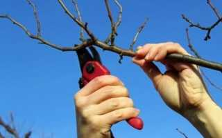 Когда лучше обрезать абрикос осенью или весной