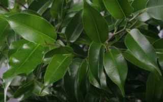Фикус с белыми листьями