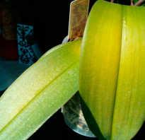 Желтеют листья орхидеи что делать
