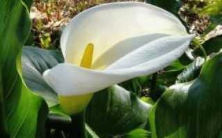 Калла цветок в саду