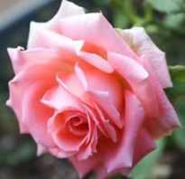 Как рассадить розу