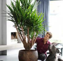 Юкка цветок уход в домашних условиях