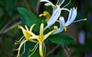 Цветок дева по гороскопу