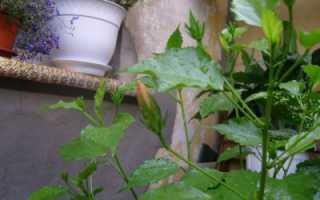 Как заставить цвести гибискус в домашних условиях