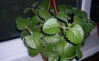 Как выращивать мяту в домашних условиях