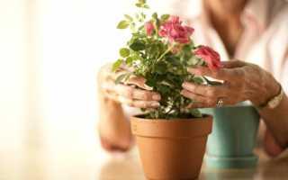 Роза в домашних условиях уход