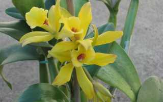 Ваниль растение