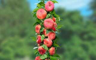 Колоновидный персик посадка и уход