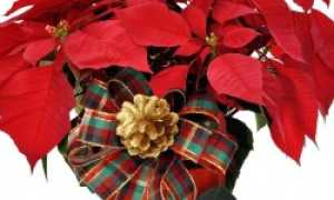 Рождественский цветок с красными листьями