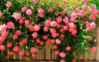 Как ухаживать за розой в саду