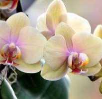 Фаленопсис не цветет что делать