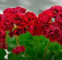Garnet rosebud пеларгония