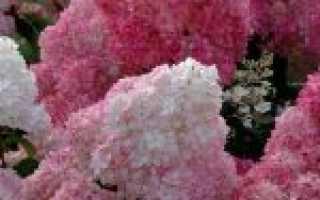Гортензия метельчатая сандей фрайз посадка и уход