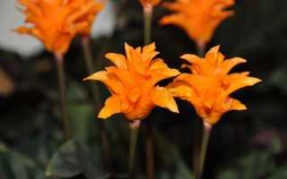 Калатея цветущая