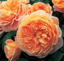 Уход за розой в саду