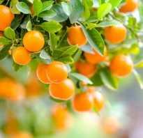Фрукт мандарин