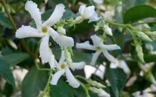 Как посадить жасмин осенью