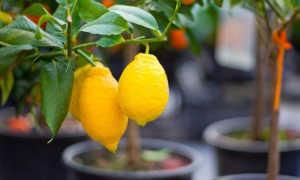 Выращивание цитрусовых из косточки в домашних условиях