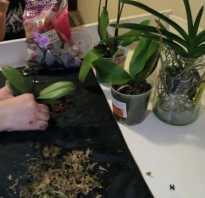 Как посадить орхидею в горшок