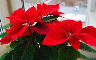 Цветок с красно зелеными листьями название