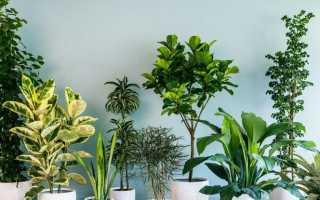 Домашний цветок с длинными узкими листьями