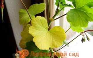Герань желтеют и сохнут листья