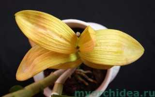 Фаленопсис желтеют листья что делать